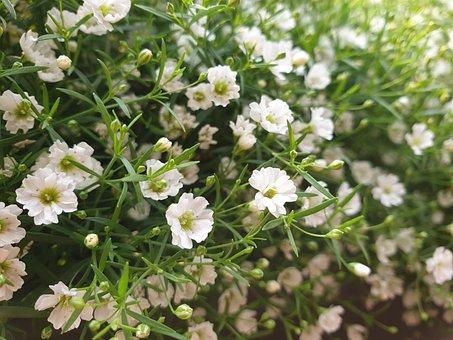 Flower, White, Flowers, Gypsophila Elegans