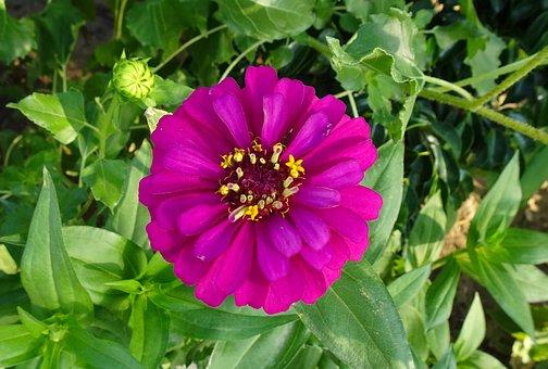 Flower, Zinnia, Pink, Garden, Summer