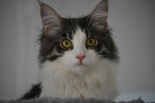 Anneli, Cat, Maine Coon, Kitten, Nature, Animals