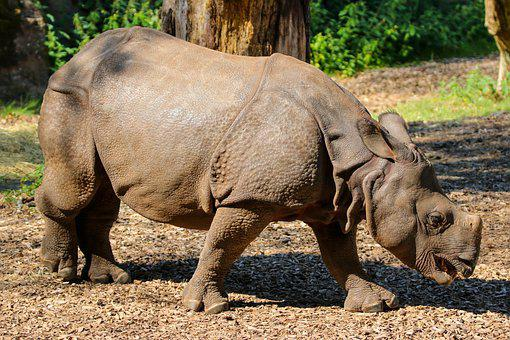Animals, Rhino, Indian Rhinoceros, Thick Skin, Horn