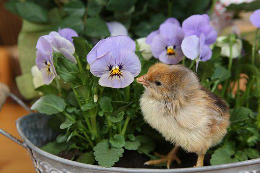 Chicks, Chicken, Poultry, Nestling, Pansy, Blue