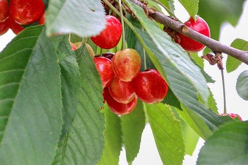 Cherries, Harvest, Fruit, Garden, Agriculture, Fresh