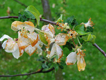 Flowers, Apple, Ground Frost, Frost, Damage Mrozowe