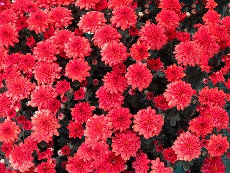 Chrysanthemum, Master Red, Red Flowers, Chamanti