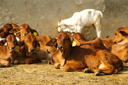 Cows, Nature, Animals, Livestock, Agriculture, Milk