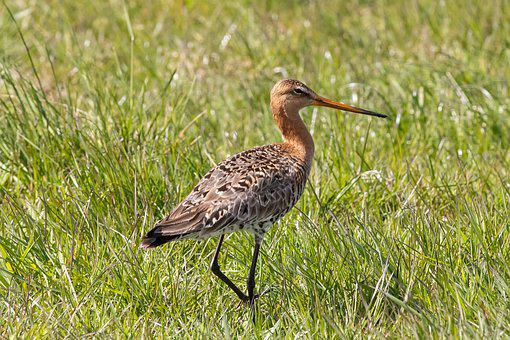 Godwit, Bird, Ornithology, Natural, Wader, Eng, Beak