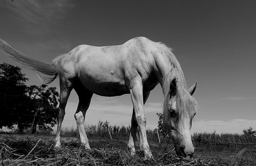 Horses, Pasha, Farm, Ranch, Horse