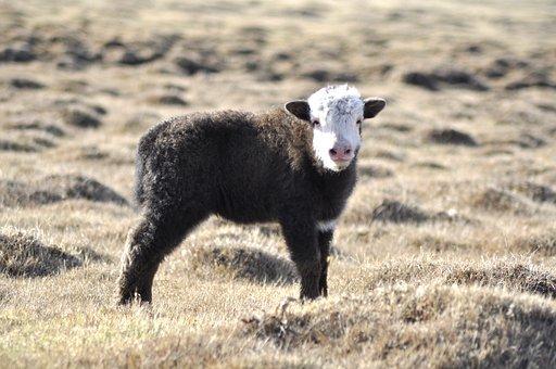 Yak, Baby Yak, Mongolia, Pasture, Grass, Golden, Animal
