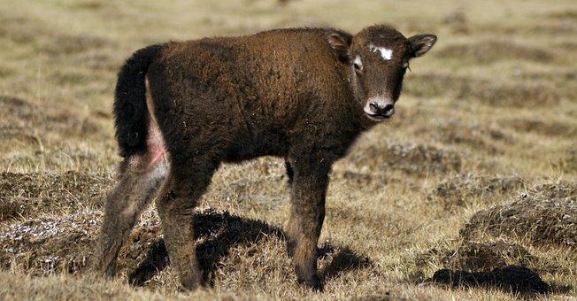 Yak, Baby Yak, Mongolia, Pasture, Grass, Golden, Cub