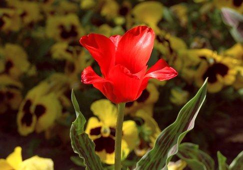 Tulip, Red, Flower, Garden, Spring, Dear, Open