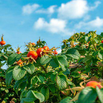 Rose Hip, Berry, Shrub, Bush, September, Red, Orange