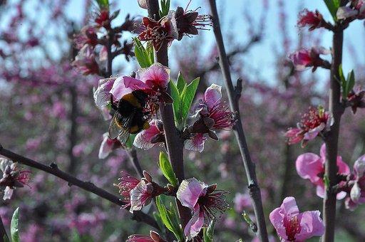 Bumblebee, Bombo, Bomby, Bee, Fiori Di Pesco