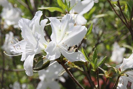 White Flowers, Flowers, Spring Flowers, White, Azalea