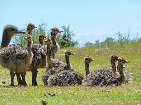 Ostriches, Baby Ostriches, Strauss Babies