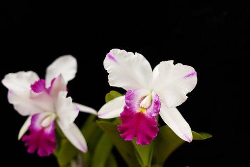 Cattleya, Magic, Fascinating, Karen, Orchid