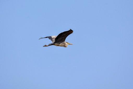 Animal, Sky, Bird, Wild Birds, Heron, Gray Heron
