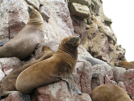 Sea lions, Pisco, Paracas, Ballestas Islands, Peru