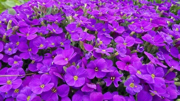 Aubretia, Blue Pillow, Violet, Blossom, Bloom, Bloom
