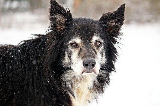 Dog, Border, Snow, Old Dog, Herding Dog, Border Collie