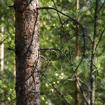 Pine, Frame, Bark, Conifer, Tree, Branches