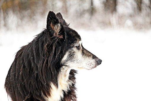 Dog, Border, Snow, Old Dog, Herding Dog