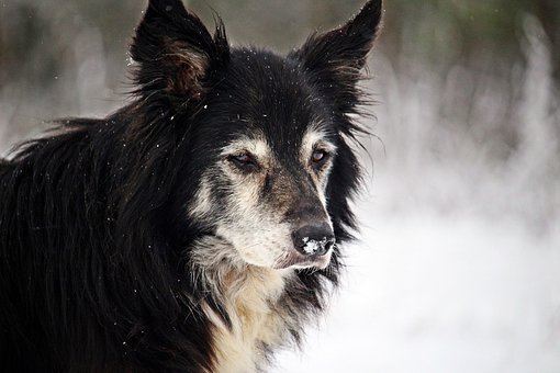 Dog, Winter, Snow, Border, Herding Dog, Border Collie
