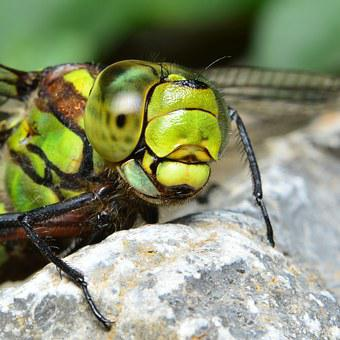Dragonfly, Green Dragonfly, Hawker, Predatory Insect