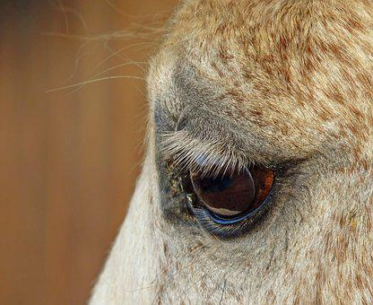 Horse, Eye, Close Up, œil, Eyelashes, Look, Equine