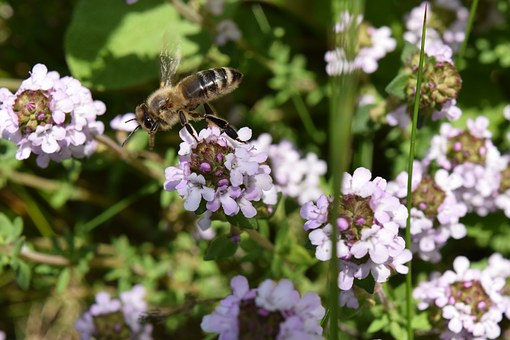 Bee, Fly, Flying Bee, Flowers, Spring, Sunshine, Close
