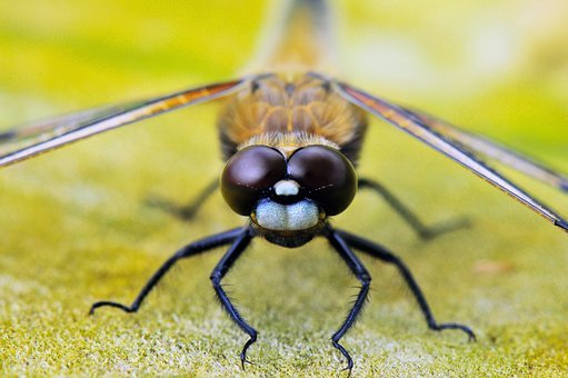 Four-spotted Dragonfly, Animals, Dragonflies, Close Up