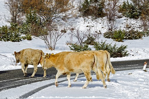 Cows, Campotosto, L'aquila, Abruzzo, Italy