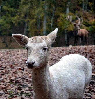 Roe Deer, Wild, Scheu, Close Up, Nature, Forest, Female