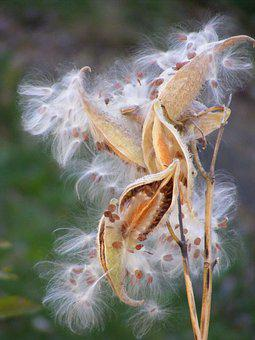 Milk Weed Seeds, White, Weed, Fall, Plant, Seed, Autumn
