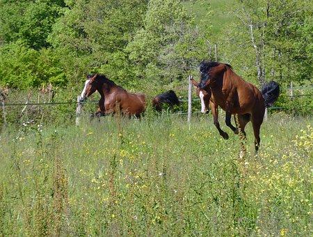 Horse, Pure Arab Blood, Horse Breeding, Pre, Horses