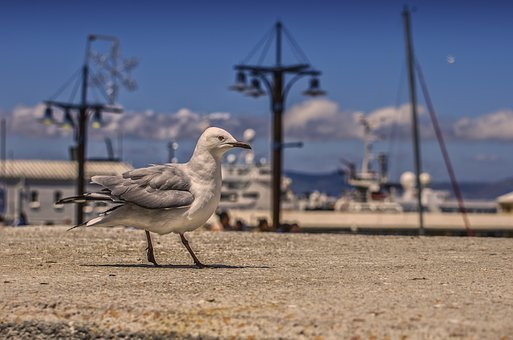Seagull, Port, Bird, Sea, Water Bird, Animal, Seevogel
