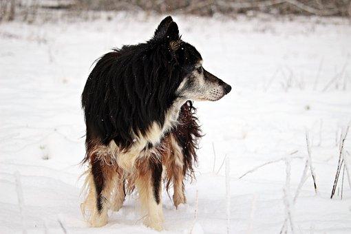 Snow, Winter, Dog, Wintry, Border, Herding Dog