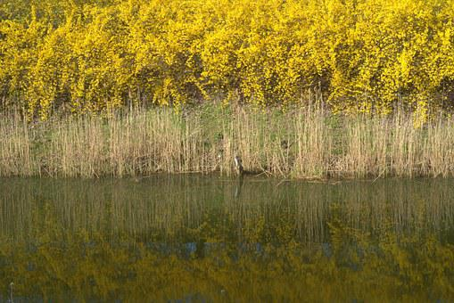 Shrubs, Yellow, Water, Dry, Layer, Green, Flowering