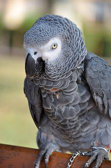 Parrot, Grey, Gabon, Bird, Animals, Nature, œil, Exotic