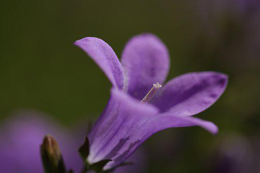 Campanula, Bells Flower, Campanula Portenschlagiana