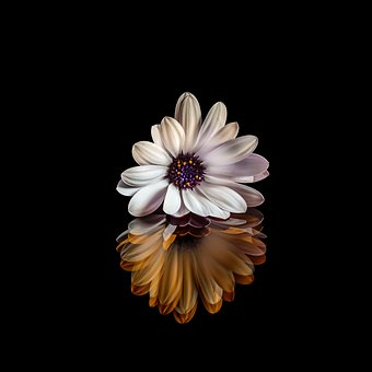Osteospermum, Flower, Nature, Plants, Marguerite, Color