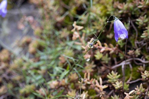 Bluebell, Flower, Nature, Bloom, Flora, Blossom
