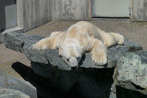Polar Bear, Sleep, Coziness, Zoo, Lunch Break, Siesta