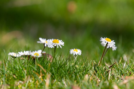 Daisy, Meadow, Nature, Spring, Grass, Green