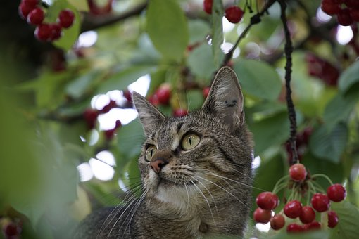 Protection, Cat, Cherry, Tree, Hunting
