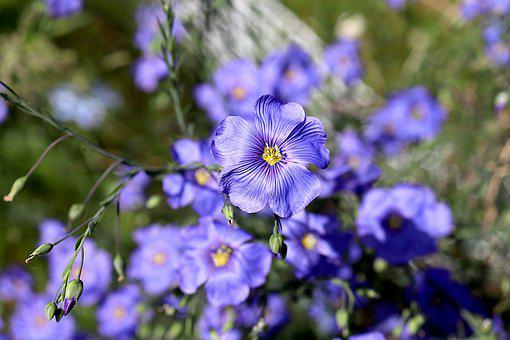 Flax Perennial, Flowers, Plants, Spring, Color Blue