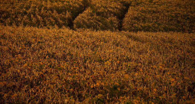Field, Soy, Soybean, Agriculture, Crops, Landscape
