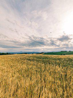 Field, Wheat, Agriculture, Nature, Grain