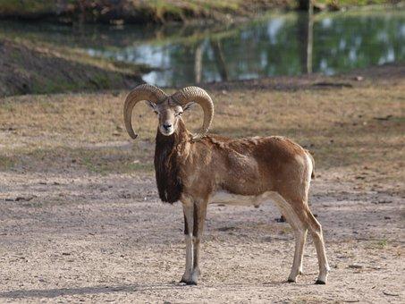 Barbary Sheep, Texas Ranch, Exotic Animal