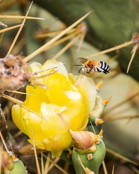 Amegilla, Antenna, Apidae, Banded, Bee, Cactus