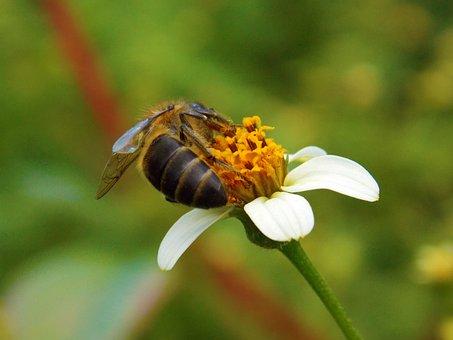 Bee, Blackjack, Honeybee, Honey, Nature, Insect, Nectar